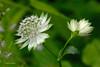 Blümchen (DianaFE) Tags: wiesenblume blümchen makro macro dianafe dianae