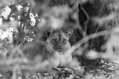 Hidden Lion (Michael Zahra) Tags: africa zambia safari travel tourism conservation animal wildlife canon 7d2 nature savannah park lion lioness hidden hiding resting sleeping predator ambush trees bushes eyes