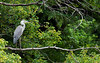 Gray Heron (Juvenile) (CheeToS0) Tags: bird grayheron greyheron heron japan tokyo yoyogikoen yoyogipark