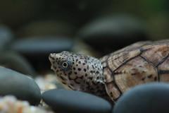 IMG_0047 (Laurent Lebois ©) Tags: laurentlebois france reptile rettile reptil рептилия tortue turtle tortoise tortuga tartaruga schildkröte черепаха chelonia sternotherus minor terrariophilie razorbackmuskturtle cinosterne