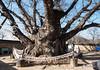 Sacred Tree(신목) (golbenge (골뱅이)) Tags: andong hahoefolkvillage panorama sacredtree samsindangsinmok zelkova 느티나무 삼신당신목 안동 파노라마 하회마을 안동시 경상북도 대한민국 kr