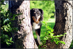 32/52 Weeks for Maddy (ginam6p) Tags: maddy nikon toronto tree dog australianshepherd 52weeksfordogs 2017 littledoglaughedstories