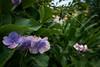 Blooms - Walk to JR Totsuka JRC 20170713 (Rick Cogley) Tags: 2017 cogley fujifilmxpro2 14mm 11250sec iso200 expcomp03 whitebalanceauto noflash programmodeaperturepriority camerasnffdt23469342593530393431170215701010119db2 firmwaredigitalcameraxpro2ver310 pm thursday july summer overcast windy hot yokohama totsuka kanagawa japan jp f28 apexev133 focusmodemanual lenstypexf14mmf28r