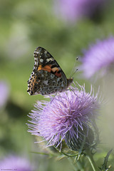 Butterfly 2017-132 (michaelramsdell1967) Tags: field beauty nature macro flower animals bokeh beautiful closeup butterfly animal pretty green insect vivid garden purple insects wildlife thistle zen blossom wild vibrant butterflies meadow wilderness lavender wildflower upclose