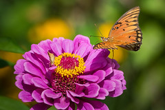 Golf Foxtrot Heavy Inbound for Landing, Clear the Pad. (sethjschubert) Tags: flower gulffritillary nature bloom zinnia insect butterfly blossom
