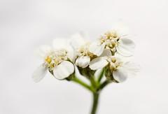 Petite fleur des Îles (M. Carpentier) Tags: macromondays highkey flower fleurs flowers blanc white