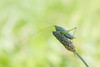 Zuidelijk Spitskopje - Long-winged Conehead (aaronmeijer2) Tags: wildlifephotography wildlife animals canon eos macro insect arthropod grasshopper orthoptera netherlands 1200d heemskerk castricum castricummerpolder animal