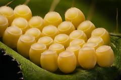 Eggs (Saul G.) Tags: macro macrolife macrophotography macroworld micro mitutoyo eggs insect nikon d7200 focus stacking stack nature
