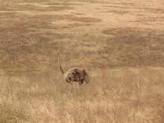 DSC00355 (francy_lioness) Tags: safari jeep animals animali ippopotami leone savana gnu elefante iena pumba tanzaniasafari ngorongorocratere gazzella antilope leonessa lioness facocero