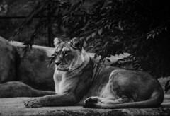 Lion d'Afrique - Panthera leo - ♀ (michel lherm) Tags: france animalia nature brown marron mammifères félins animal pantheraleo fauve liondafrique mammalia zoodeparis paris felidae bigcat bigfive faune naturaleza animals fauna carnivore animaux zoo