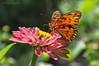 Butterfly Garden... (Kelley&Kelley) Tags: florida flower butterfly nature wildlife closeup nikon specanimal