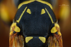 Indian face. (Ireneusz Irass Waledzik) Tags: irass insect ireneusz nikon digitalcamerapolska nationalgeographic nature d750 macrophotography macro magazine microscope mitutoyo mitutoyomplanapo5x m plan apo 5x polistes dominula wemacro waledzik bug body vespidae indian face extreme raynox150