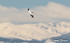 American White Pelican (Anne Marie Fraser) Tags: americanwhitepelican american white pelican mountains flight fly wild wildlife nature colorado majestic sky clouds