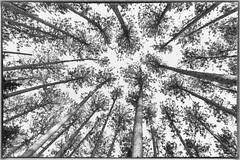 Kag Trail Canopy (craig_schenk) Tags: ontario ontariocanada ontarioprovincialparkscanada canada samueldechamplainprovincialpark trail mattawa natue white tree art fineart park summer fall trees bw blackwhite blackandwhite monochrome highkey creative perspective forrest