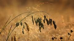 *** (pszcz9) Tags: przyroda nature natura zbliżenie closeup trawa grass rosa dew dewdrop bokeh beautifulearth sony a77 samyang