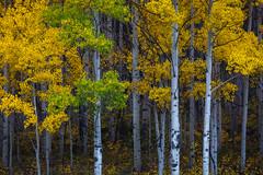 What's taking you so long?  Aspen grove, San Juan Mountains, Colorado (jason_frye) Tags: colorado sanjuanmountains milliondollarhighway fall autumn