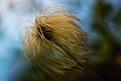 """Clematis"" (helmet13) Tags: d800e raw flora clematisl oldmansbeard macro selectivefocus bokeh aoi heartaward peaceaward world100f platinumpeaceaward 200faves"