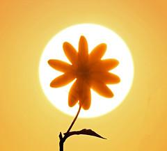 A fake sunflower (Robyn Hooz) Tags: liquidambar argine fiore petali petals disco stelo tamron 600mm sunrise sorgere padova bliss