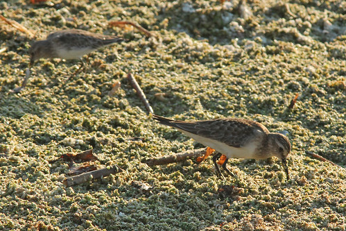 Baird's Sandpiper (Calidris bairdii) in foreground with Least Sandpiper (Calidris minutilla) in background