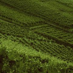 Vignes (LucieOnTheBridge) Tags: switzerland suisse lac colorama argentique nikon analogic