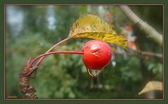 Perle de pluie ! (Armelle85) Tags: extérieur nature fruit goutte pluie macro