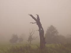 MYSTIC LANDSCAPE _9038922 (hans 1960) Tags: outside outdoor nature natur landschaft landscape trees grün green bäume blatter misty mist nebel mystic harmonie stille stillness morning autumn herbst soft wiese obstbäume home heimat