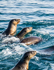 Seal Watching at Phillip Island in Melbourne Australia