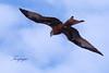 nibbio reale (Tonpiga) Tags: tonpiga uccelliinlibertà faunaselvatica rapace predatore milvusmilvus nibbioreale birds