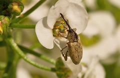 Weevil (elderkpope) Tags: ngc macrodreams canon macro close flower utah desert backyard outdoors weevil insect insects bug bugs