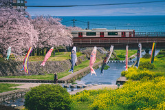 bloom day in Beppu (kiatthaworn khorthawornwong) Tags: flower sakura tree cherry blossom bloom train transportation street rail koi fish sea green pink yellow river travel fujifilm japan japanese flickrtravelaward