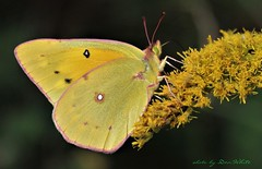 clouded sulfer (don.white55 That's wild...) Tags: darkcloudedyellowcoliascroceus dauphincounty pennsylvania donwhite canoneos70d canon55250mm insect butterfly yellow closeup 20161005 butterflymigration mariposa farfalla papillon schmetterling 蝴蝶 motýl バタフライ fjäril féileacán fantasticnature ngc gallery ingallery