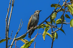 Starling 2 (Bojan Ž.) Tags: starling sturnusvulgaris bird animal wildlife nature blue green orange red eye fauna colorful depthoffield wing abstract color outdoor park water white wild avian beautiful birding space long amazing blur broun exotic fascinant fast flight freedom enviromant perching stick sunlight tailed head lovely canoneos7dmarkii ef600mmf4lisusm greatphotographers