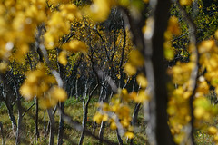 Grøtfjorden #1 (twoeye) Tags: høst grøtfjorden birch fall colors leave yellow blur dof autumn september