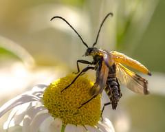 Longhorn (kitwilliams91) Tags: insect tawnylonghornbeetle paracoeymbiafulva daisy pollen nectar food endangered macro canon 5dmiii sunlight