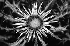 Spiny Sunshine (AnyMotion) Tags: silverthistle silberdistel stemlesscarlinethistle dwarfcarlinethistle carlinaacaulis blossom blüte petals blütenblätter plant pflanze 2017 anymotion nature natur botanicalgarden botanischergarten frankfurt 7d2 canoneos7dmarkii bw blackandwhite sw