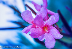 it was ... (frederic.gombert) Tags: summer light color colors pink oleander green blue macro rain drop raindrop droplet dew nikon