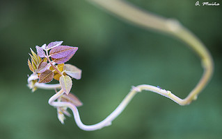 Capricious form of the Wisteria (wisteria sinensis). Forma caprichosa de la Glicinia (wisteria sinesis)