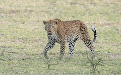 Leopard (male) (tickspics ) Tags: africa africanleopard iucnredlistvulnerable pantherapardus sandrivers selous selousgamereserve tanzania