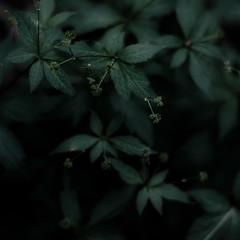 Thicket Details 041 (noahbw) Tags: d5000 dof nikon ryersonwoodsforestpreserve abstract blur dark darkness depthoffield dreamlike dreamy forest leaves light lowlight natural noahbw quiet shadow square still stillness summer woods thicketdetails