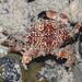 Mosaic reef crab (Lophozozymus pictor)
