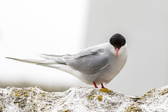 If Looks Could Kill! (Linda Martin Photography) Tags: farneislands arctictern animals northumberland wildlife sternaparadisaea uk birds coth sunrays5