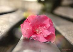 (MargoLuc) Tags: pink flower silky petals bench rainy day soft light bokeh backlight outdoor