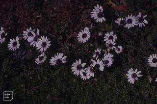 Cape daisies. Dimorphotheca pluvialis. Postberg Head. 1997