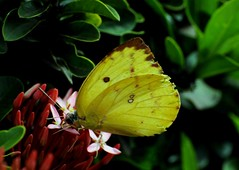 DSC_7605 (hkrajashekar) Tags: butterfly davanagere yellow karnataka southindia india nikon natural nature insectphotography green greenery rajashekar hkr bengaluru flowers wild wildlife