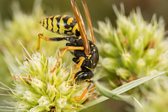 European Paper Wasp (Polistes dominula) (The LakeSide) Tags: insect macro nikon r1c1 d7100 wasp paper polistes dominula