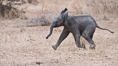 Baby elephant on the Run (Raymond J Barlow) Tags: elephant baby wildlife nature travel tanzania africa phototours raymondbarlow run running