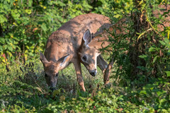 LetsGetGoing (jmishefske) Tags: wisconsin 2017 nikon wildlife halescorners whitetail d500 september fawn whitnall milwaukee park deer doe
