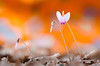 ciclamini selvatici 2017 (Matteo Colombini San Marino) Tags: macro nikon sanmarino sottobosco ciclamino ngc fiore