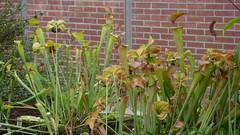 Le Havre - Les jardins suspendus (jeanlouisallix) Tags: le havre haute normandie saint adresse fort de jardin parc park garden serre tropicale paysages nature plantes botanique randonnée fleurs flowers carnivores