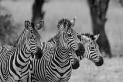SAVANNAH ZEBRAS (dmberman1) Tags: eastafrica wildlife tarangirenationalpark animals tanzania africasafari